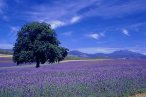 lavender field in Texas USA