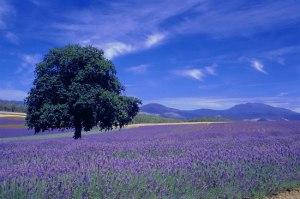lavender field in Texas USA